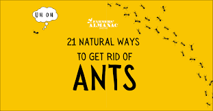 get rid of ants without toxic chemicals