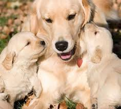 cute golden retriever puppies kissing. Wonderful Golden Cute Golden Retriever Puppies Kiss Motheru0027s Face Picture With Cute Golden Retriever Puppies Kissing O