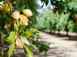 Almond Tree Care Learn How To Grow An Almond Tree