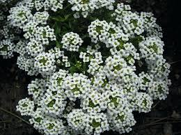 small white flowers ground cover fruit are very small purple berries groundcover with tiny white flowers