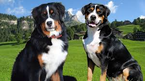 greater swiss mountain dog. Interesting Mountain Bernese Mountain Dog Vs Great Swiss Highlights With Greater Swiss Dog M