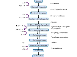 Glycolysis Flow Chart Describe The Steps Involved In Glycolysis Flow Chart Or