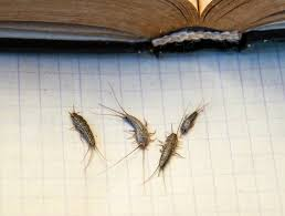 Home Pest Control: Silverfish Identification, Prevention, and Removal Tips