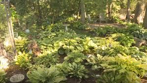 hometown farmer huge hosta garden kmeg