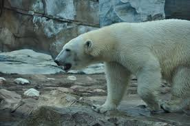 Does Polar Bear Hair Conduct Light And Therefore Heat Lincoln Park Zoo Announces Opening Date For New Polar Bear