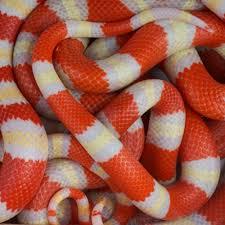 milk snake size albino honduran milk snake c b babies 149 99
