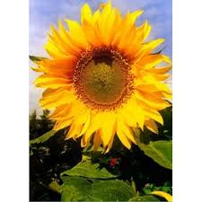 Din A4 Fotokarte Sonnenblume