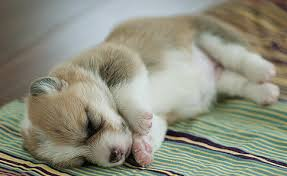 Cookie puppies puppies are so cute. Sleeping Corgi Puppy Image Png