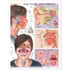 Larynx Chart Ear Nose And Throat Chart Poster Laminated