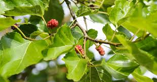 How To Properly Take Care Of A Weeping Mulberry Tree  Gardens Non Fruiting Mulberry Tree