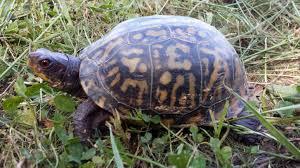 Saving turtles together – AZA SAFE American Turtles Program