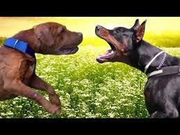 pitbull dog vs doberman.  Doberman PitBull Vs Doberman  Ultimate Clash On Pitbull Dog Vs I