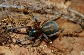 Michigan Spiders Identification Chart Dont Panic Over Brown Recluse Spiders In Michigan Landscaping