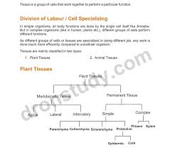 Flow Chart Of Animal Tissue Class 9 46 Thorough Plant Tissues Flowchart