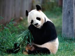 beautiful hd wallpapers of animals. Interesting Animals Cute Panda Beautiful Pictures New Desktop Animal Wallpapers With Hd Of Animals L