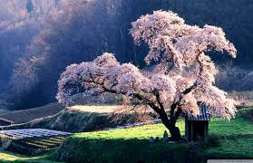 Spring In Japan 4k Hd Desktop Wallpaper For 4k Ultra