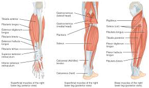 Muscles Of The Lower Leg And Foot Human Anatomy And