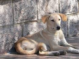 File:Yellow dog.jpg - Wikipedia