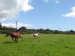horses galloping in a field. Fine Galloping Throughout Horses Galloping In A Field R