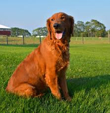 red golden retriever.  Red Picture On Red Golden Retriever O