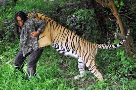 Image result for tiger attack indonesia