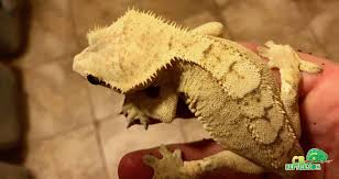 creamsicle crested gecko for