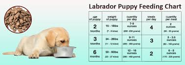 Labrador Size Chart By Age Lab Puppy Food Chart Goldenacresdogs Com