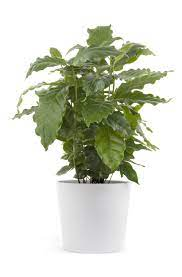 Widely considered one of the most resilient plants, it is perfect for beginners and experienced green thumbs. Cutting Back Coffee Plant Pruning Of Coffee Houseplants