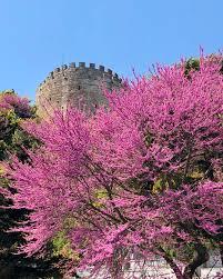 NeGezdik — Erguvan çiçekleri Nisan sonu-Mayıs başı gibi...