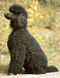poodle all types