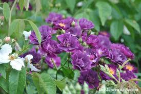 """Résultat de recherche d'images pour """"rosier violet foncé"""""""
