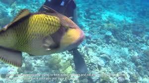 triggerfish bite. Beautiful Triggerfish Giant Trigger Fish Attack To Triggerfish Bite F