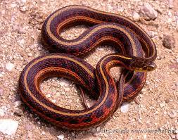 eastern gartersnake thamnophis sirtalis amphibians and reptiles of iowa