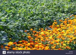 English Kitchen Garden Companion Planting Of Pot Marigolds Calendula Officinalis With