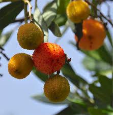 RANGPUR LIME TREE  Just Fruits And ExoticsSmall Orange Fruit On Tree