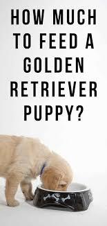 Golden Retriever Puppy Feeding Chart How Much To Feed A Golden Retriever Puppy Your Questions