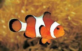 cute baby clown fish.  Fish On Cute Baby Clown Fish N