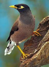 Myna fightback › Nature Features (ABC Science)