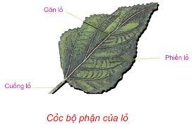 II. Các cơ quan sinh dưỡng của thực vật
