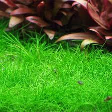 hemianthus callitrichoides cuba glossostigma elatinoides eleocharis sp mini the various ground covering plants