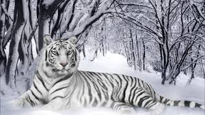 white tiger wallpaper hd 1080p. Simple White Awesome White Tiger Free Wallpaper ID174838 For Hd 1080p Desktop On Wallpaper Hd L