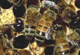 Пчелы загадочный мир пчел пчеловодство Русь условия  Загадочный миp пчел