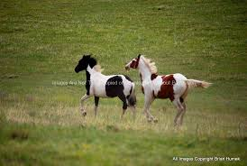 paint horses running in a field. Simple Paint Stock Photo Of Paint Horses On Running In A Field