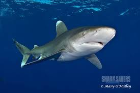 shark savers home recent articles