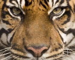 tiger face wallpaper hd. Exellent Wallpaper Amur Tigers Images Tiger Face HD Wallpaper And Background Photos And Wallpaper Hd C
