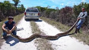 Invasive in South Florida - Insane snake attacks (WARNING: GRAPHIC ...