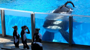 killer whale attacks on humans. Exellent Whale Tilikum An Orca Watching Trainers At SeaWorld Orlando In Florida With Killer Whale Attacks On Humans L