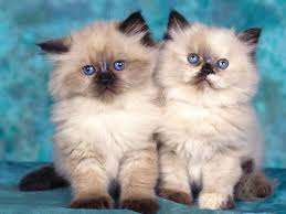 cute fluffy kittens. Plain Kittens Cute Cats Kittens Black Cats Eating Right Food  For Cute Fluffy Kittens
