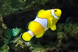 black and yellow clown fish. Simple Black Black And Yellow Clown Fish L