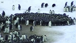 emperor penguin huddle. Wonderful Huddle A Grouping Of Emperor Penguins On Emperor Penguin Huddle E